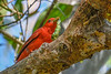 SummerTanager-FortDeSoto-4-18-19-SJS-002