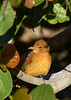 SummerTanager-FortDeSoto-4-22-19-SJS-001