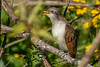 Yellow-BilledCuckoo-EmeraldaMarshFL-11-17-18-SJS-010