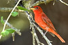 SummerTanager-BalconesNWR-MarbleFallsTX7-6-18-SJS-009