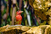 SummerTanager-FortDeSoto-4-22-19-SJS-010