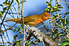 SummerTanager(immature)-OcalaNF-4-27-20-SJS-003