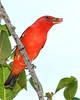 ScarletTanager(male)-FortDeSoto-5-6-20-SJS-18