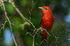 SummerTanager(male)-OcalaNF-5-5-20-SJS-05