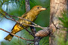 SummerTanager(female)-OcalaNF-8-4-20-sjs-001