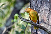 SummerTanager(immature)OcalaNF-9-16-18-SJS-003