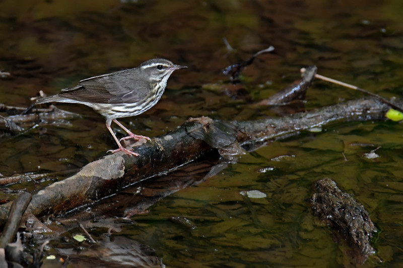 LouisianaWaterthrush-WCP-DunbarWV-SJS-005