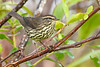 NorthernWaterthrush-EmeraldaMarsh-10-2-20-sjs-02