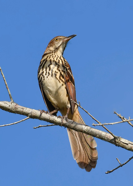 BrownThrasher-OaklandNP-9-16-19-SJS-002
