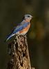 EasternBluebird(male)-CrookedCreekSP-GA-10-27-20-sjs-03