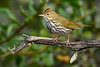 Ovenbird-OcalaNF-9-13-20-sjs-003