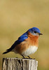 EasternBluebird-208-06