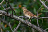 HermitThrush-EmeraldaMarsh-11-27-19-SJS-002