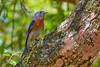 EasternBluebird(male)-LakeYale-4-29-20-SJS-004