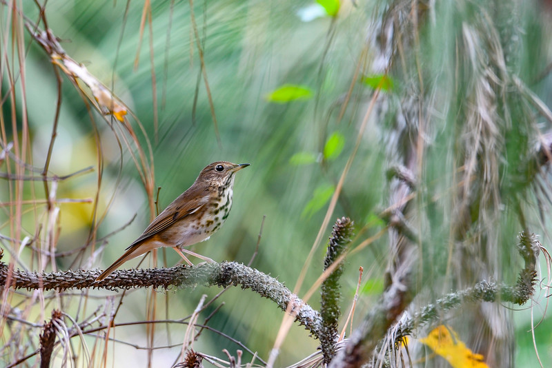 HermitThrush-EmeraldaMarsh-12-26-19-SJS-001