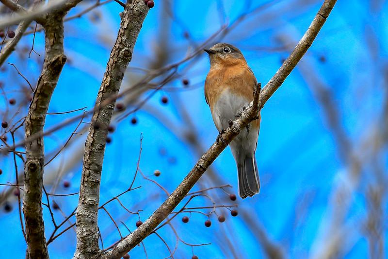 EasternBluebird-LAWD-1-1-19-SJS-007