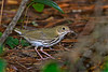 Ovenbird-SawgrassIslandPreserve-8-28-20-sjs-003