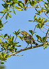 Ovenbird-OcalaNF-9-4-20-sjs-002
