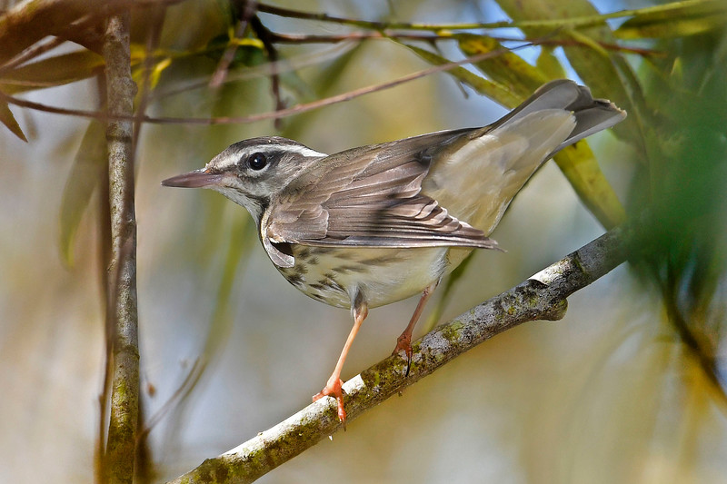 LouisianaWaterthrush-LAWD-9-14-18-SJS-001