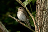 Gray-CheekedThrush-01