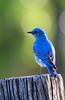 MountainBluebird(male)-2015-002