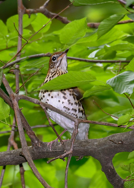 WoodThrush-SenecaRocks-5-11-19-SJS-001