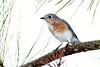 EasternBluebird-PineMeadows-11-15-19-SJS-004