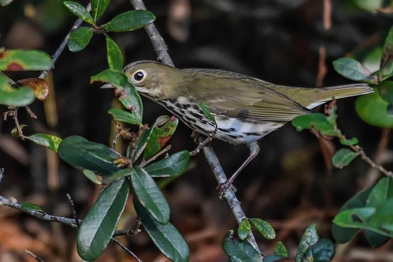 Ovenbird-OcalaNF-9-21-18-SJS-003