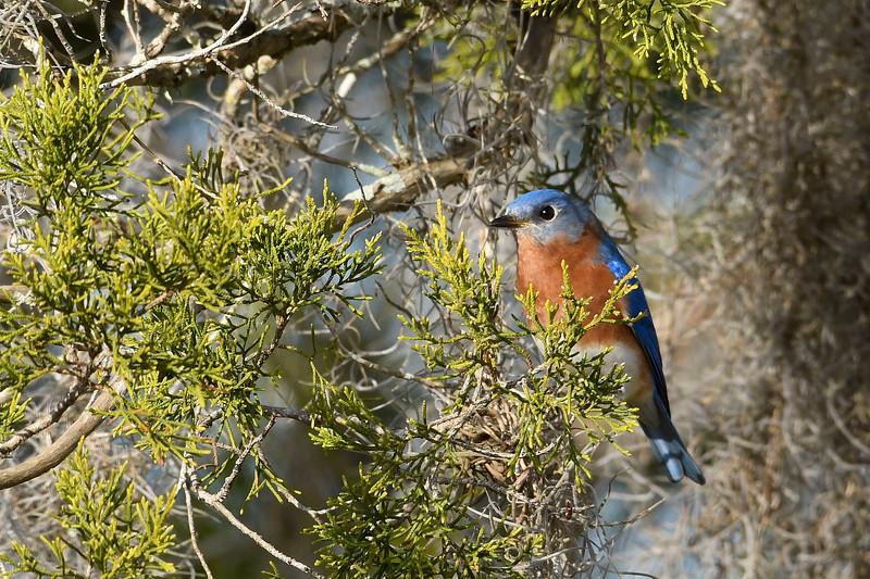 EasternBluebird-PineMeadowsCA-2-1-19-SJS-018
