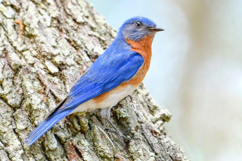 EasternBluebird(male)-LakeYale-4-29-20-SJS-009