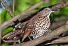 BrownThrasher-HarryLeuGardens-9-5-18-SJS-001