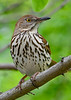 BrownThrasher-SenecaRocks-5-11-19-SJS-002