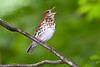 WoodThrush-WVWFP-2019-SJS-016