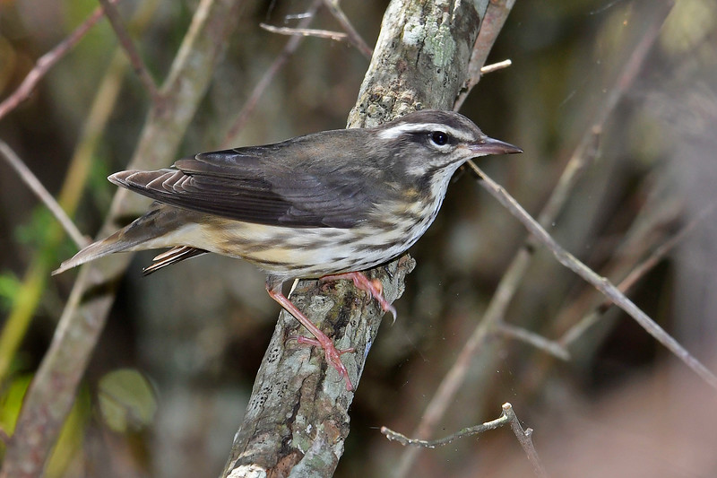 LouisianaWaterthrush-LAWD-9-14-18-SJS-005