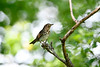 HermitThrush-MM-5-16-17-SJS-009