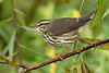 NorthernWaterthrush-EmeraldaMarsh-10-2-20-sjs-04