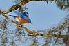 EasternBluebird-PineMeadowsCA-2-1-19-SJS-008