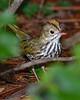 Ovenbird-SawgrassIslandPreserve-8-28-20-sjs-004
