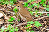 HermitThrush-MageeMarsh-5-5-18-SJS-007