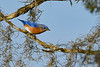 EasternBluebird-PineMeadowsCA-2-1-19-SJS-009