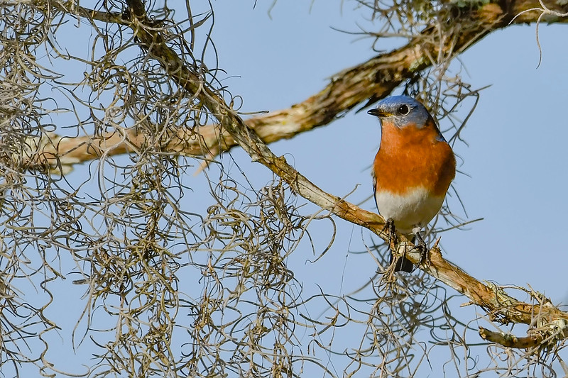 EasternBluebird-PineMeadowsCA-2-1-19-SJS-007