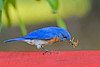 EasternBluebird(male)-LakeYale-4-29-20-SJS-013