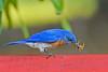 EasternBluebird(male)-LakeYale-4-29-20-SJS-013