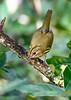 Ovenbird-OcalaNF-9-9-20-sjs-004