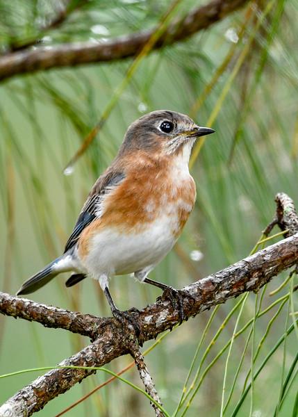 EasternBluebird-PineMeadows-11-15-19-SJS-001