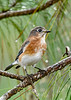 EasternBluebird-PineMeadows-11-15-19-SJS-001