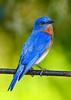 EasternBluebird(male)-LakeYale-4-29-20-SJS-011