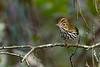 Ovenbird-EmeraldaMarsh-10-5-20-sjs-05