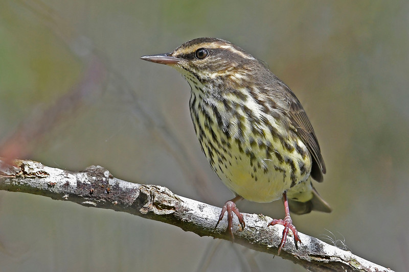 NorthernWaterThrush-LAWD-9-23-18-SJS-001