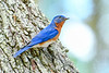 EasternBluebird(male)-LakeYale-4-29-20-SJS-007